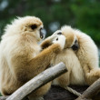 Monkeys - Stock Photo