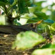 Blackbird nesting — Stock Photo #2254788
