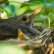 Blackbird nesting — Stock Photo #2254793
