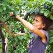 Woman picking plums — Stock Photo #2254803
