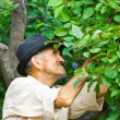 Farmer picking plums — Stock Photo