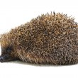 Hedgehog - Photo