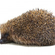 Hedgehog — Foto de Stock