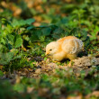 Baby chick - Stock Photo