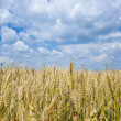 Wheat field — Stock Photo #2254922