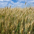 Wheat field — Stock Photo #2254935
