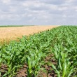 Stock Photo: Corn and wheat field