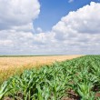Corn and wheat field - Stock Photo