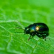 Green shiny beetle — Stock Photo #2255079