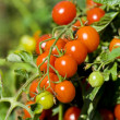Cherry tomatoes - Stok fotoraf
