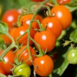 Cherry tomatoes — Stock Photo #2255274
