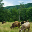 Stock Photo: Cows grazing