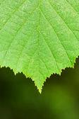 Yeşil bir yaprak yakın çekim — Stok fotoğraf