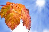 Orange leaves over blue sky — Stock Photo