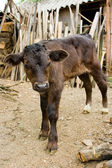 Baby cow — Stock Photo