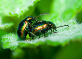 Beetles mating — Stock Photo