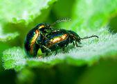 Besouros acasalando — Foto Stock