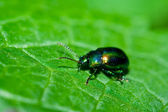 Green shiny beetle — Stock Photo
