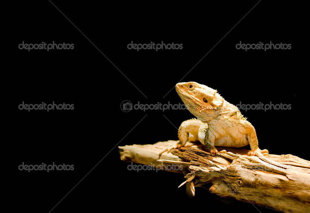 Close-up of a lizard isolated on black background — Stock Photo #2254434