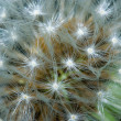 Macro of a dandelion - Stock Photo