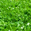 Clover carpet - Stock Photo