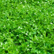 Stock Photo: Clover carpet