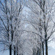 Stock Photo: Rows of trees