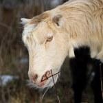 Goat browsing bushes — Stock Photo