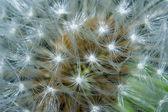 Macro of a dandelion — Stock Photo