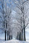 Rows of trees — Stock Photo