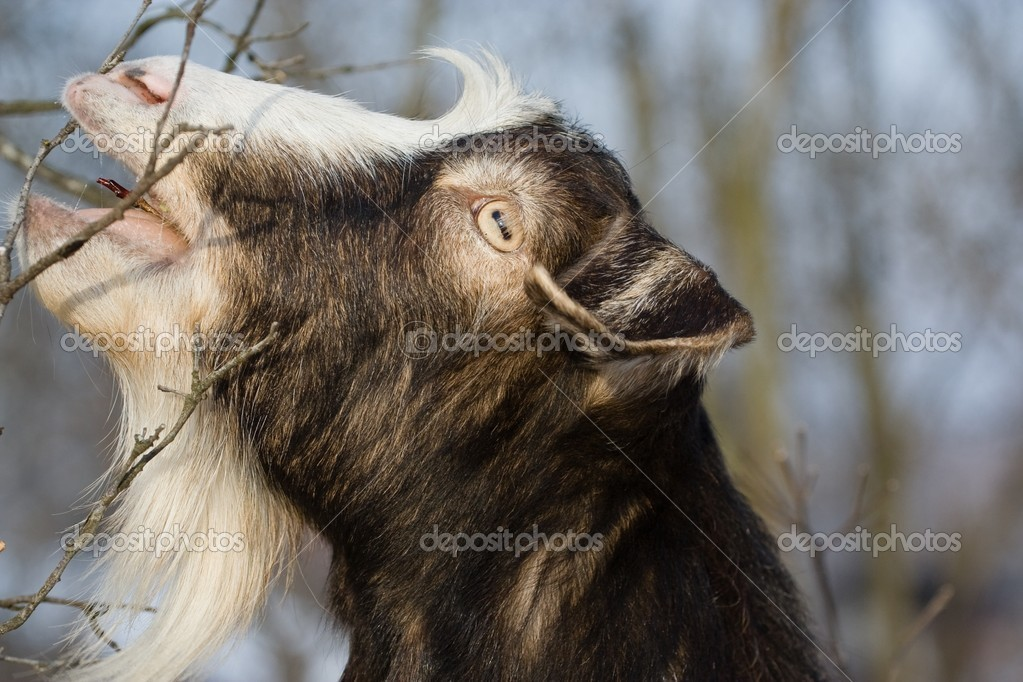 Goat browsing on the bushes in a garden — Foto Stock #2277271