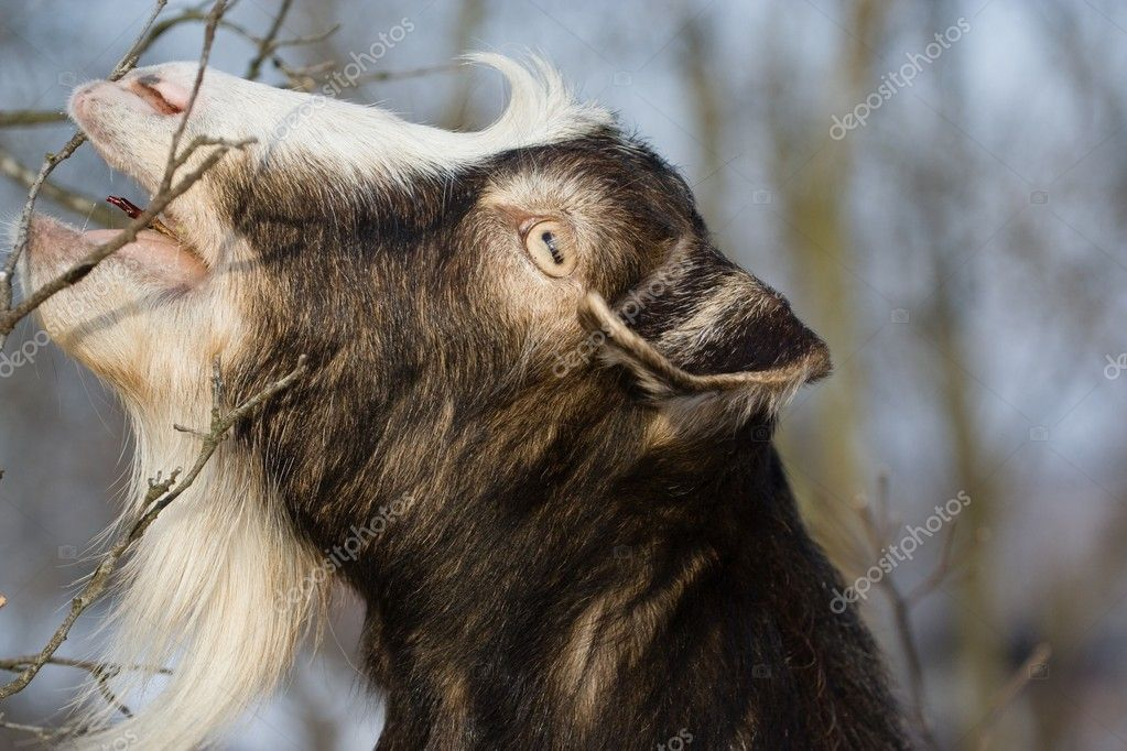 Goat browsing on the bushes in a garden — Stockfoto #2277271