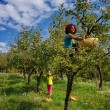 Women picking apples — Stock Photo