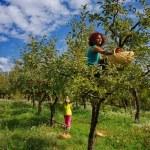Women picking apples — Stock Photo #2280364