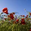 Spring landscape - red poppies — Foto Stock