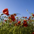 paysage de printemps - coquelicots rouges — Photo
