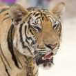 Portrait of a tiger — Stock Photo #2236243