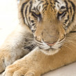 Stock Photo: Portrait of a tiger