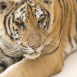 Portrait of a tiger — Stock Photo #2240197