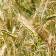 Closeup of a golden wheat field — Stok fotoğraf