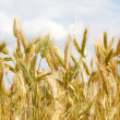 Closeup of a golden wheat — Stock Photo