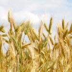 Closeup of a golden wheat — Stock Photo