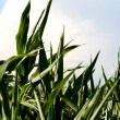 Corn field — Stock Photo #2464929