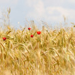 Four poppies and wheat field — Stock Photo