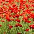 Stock Photo: Poppies - flowers