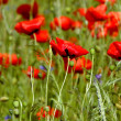 Stock Photo: Spring landscape - red poppies