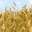 Stock Photo: Wheat - yellow