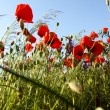 Beautiful poppies — Stock Photo #2466482