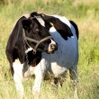 Stock Photo: Black and white cow