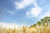 Wheat field with deep blue background — Stock Photo